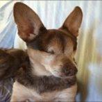 Festus the Blind Chi Rescue Dog